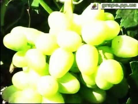 Характеристика сортов винограда