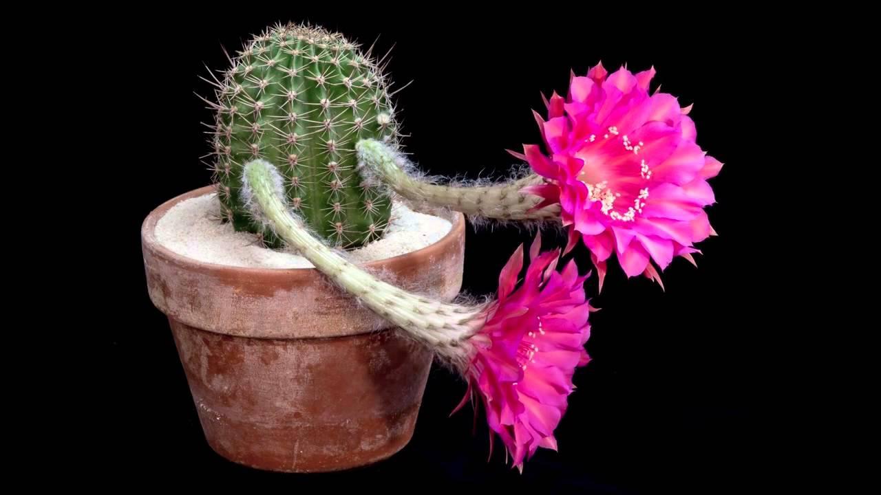 Лучший цветок кактуса