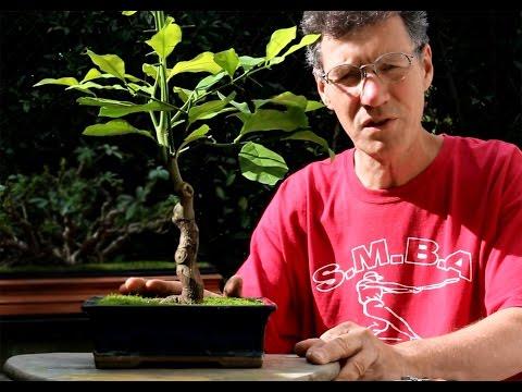 Lemon Tree Bonsai, Sept 2014 video