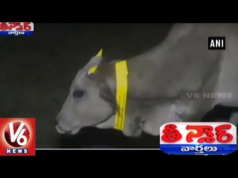 UP Stray Cows Get Radium Bands, To Avoid Road Accidents At Night | Teenmaar News | V6 News