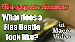 What does a flea beetle look like ? Singapore insect macro video