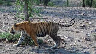 Tiger Sighting Ranthambore - t28 Star Male