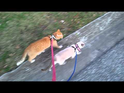 猫にリードの紐をつないでお散歩します♪