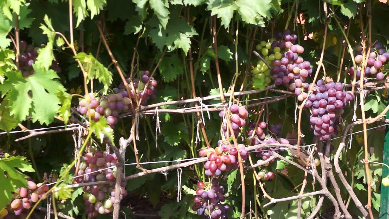 Агротехника выращивания лука севка - Саду рад! 62