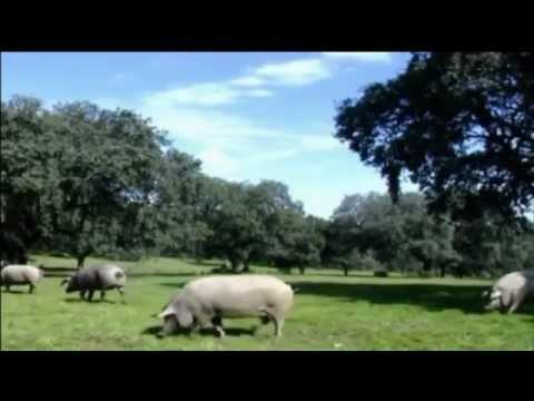 The spanish cured Iberian ham from Extremadura