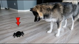 Dog Attacks Scary Robot Spider!