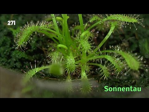 Sonnentau fleischfressende Pflanze. Vom Samen zur Pflanze
