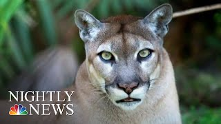 Mysterious Illness Threatening Florida's Panthers | NBC Nightly News