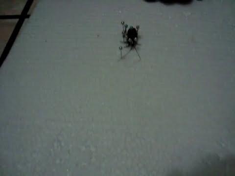 Colección de insectos, Preparación de un insecto Pasos