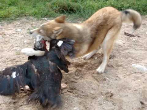 Вовкодав проти вовків відео