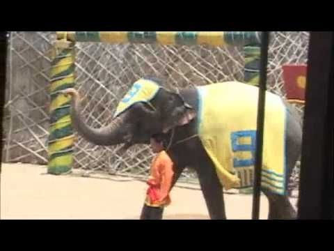 Video of Thai massage by HUGE Elephants in Bangkok Thailand by:Robert Swetz