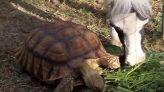 Einstein the Smallest Stallion shares a snack with a tortoise