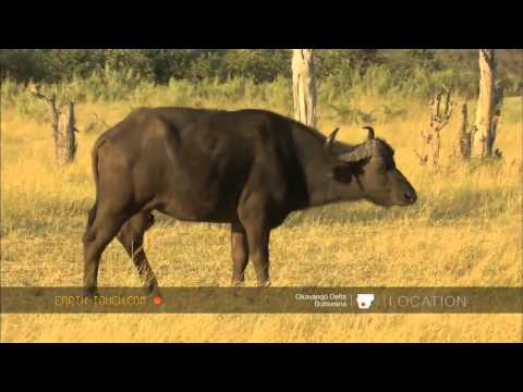 ‪Buffalo rescue cow from lions (HD)‬‏