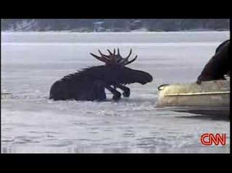 Moose rescued from Frozen Loon Lake Spokane Washington Video