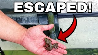 PET BULLFROG ESCAPES TERRARIUM AQUARIUM!