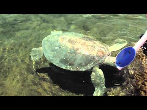 Florida Oceanographic Society -  Rescued Green Turtle