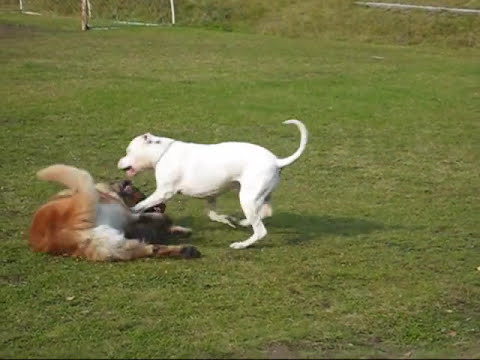 Dogo argentino and leonberger