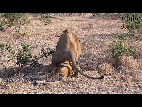 Sex In The Wild: Unresponsive Lioness Is Not Interested In Sex video