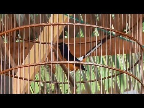 Murai Batu Juara Bengkulu Tarung Cililinan! video