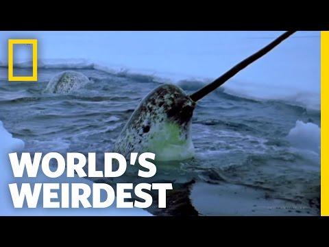 イッカククジラの動画!珍しい動物ですね!