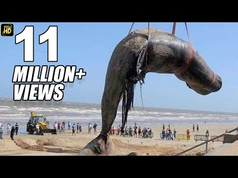 Worlds Biggest Dead Whale Fish At Juhu Beach Mumbai