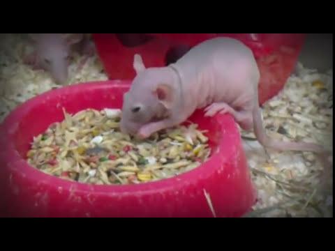 Ratas egipcias tiene casi los genes humanos