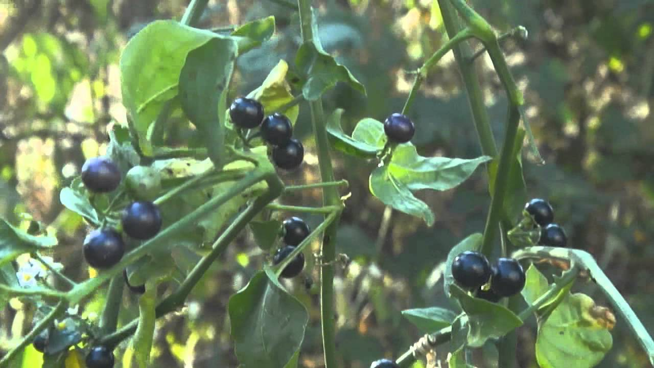 Solanum Nigrum in Hindi Solanum Nigrum