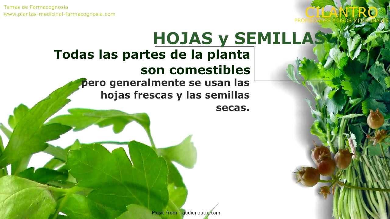 cilantro propiedades medicinales de la planta de cilantro