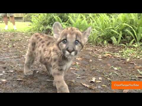 Adorable Florida Panther Kitten Nursed Back to Health
