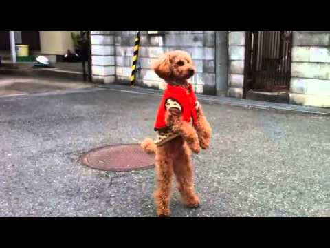 Dog walks on two legs - YouTube