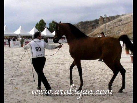 Abha Midas. Campeón Nacional de Sementales de caballos de Pura Raza árabe 2008