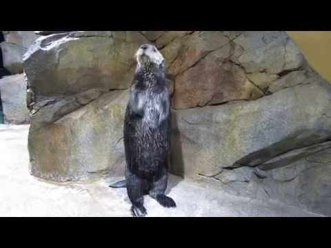 Georgia Aquarium Otters Cheer on Falcons!