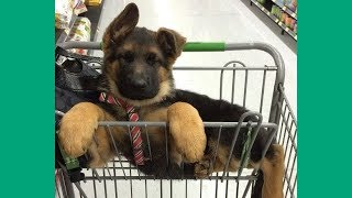 German Shepherd Puppies Funny Compilation #2 - Best of 2017