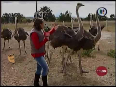 Tabata reportaje, Las avestruces