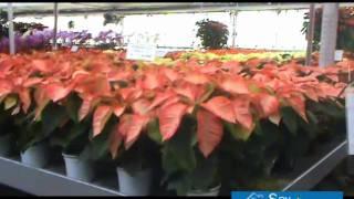 Cuidados flor de pascua cuidar de tus plantas es - Flor de pascua cuidados ...