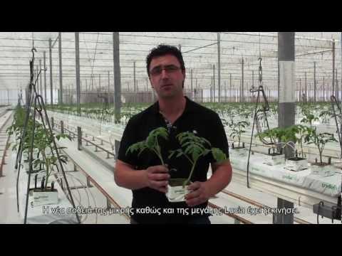 Lucia tomato- Η καινούρια σοδειά