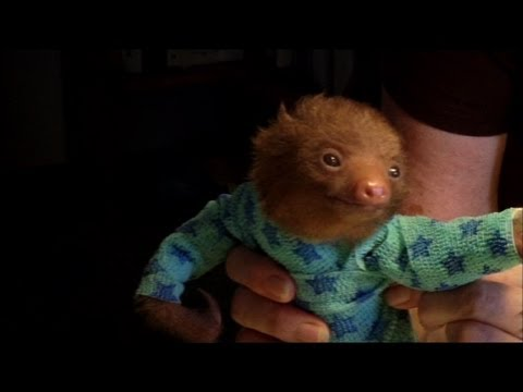 tiny-baby-sloth-gets-the-onesie-treatment-meet-the-sloths-animal-planet.html