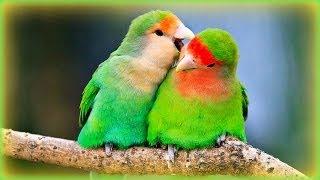 ❀ Lovebirds' Sounds - 1 Hour