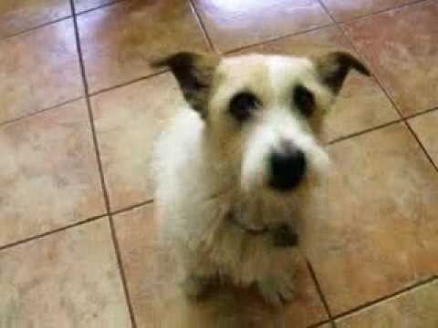 Wire Hair Jack Russell Terrier - Shorty - YouTube