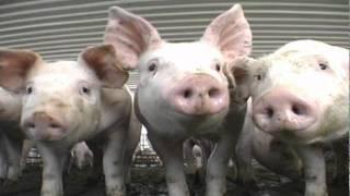 Encefalomielitis porcina (Enfermedad de Teschen). Una amenaza para el sector productor porcino