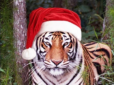 Funny Cute BIG CAT CHRISTMAS!