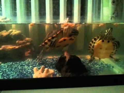 Convivenza tra tartarughe e pesce pulitore youtube for Pesci da laghetto mangia zanzare