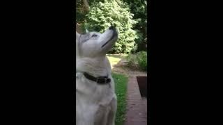 My Husky makes strange noises!