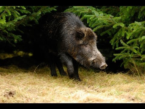 wounded-boar-attacks-forest-ranger.html