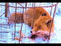 Ловушка на лису (живоловушка). Traps fox (alive trap).