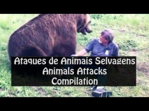 Ataques furiosos de animais selvagens   Animals Attack Compilation