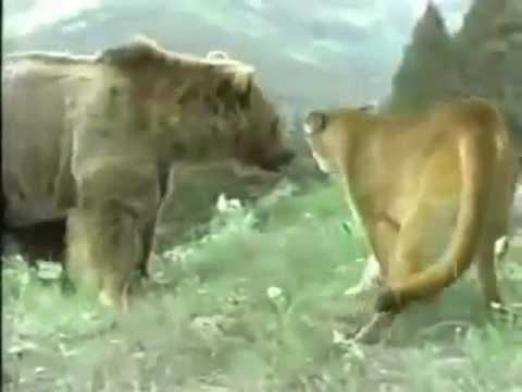пума защищает своего малыша - пума против медведя, кто кого?