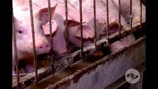 Destete de lechones: consejos para evitar problemas en la producción | Noticias Caracol