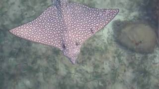 Spotted Eagle Ray Encounter