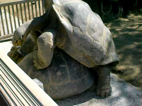 Turtle-style (giant Turtle Sex  The San Diego Zoo) video